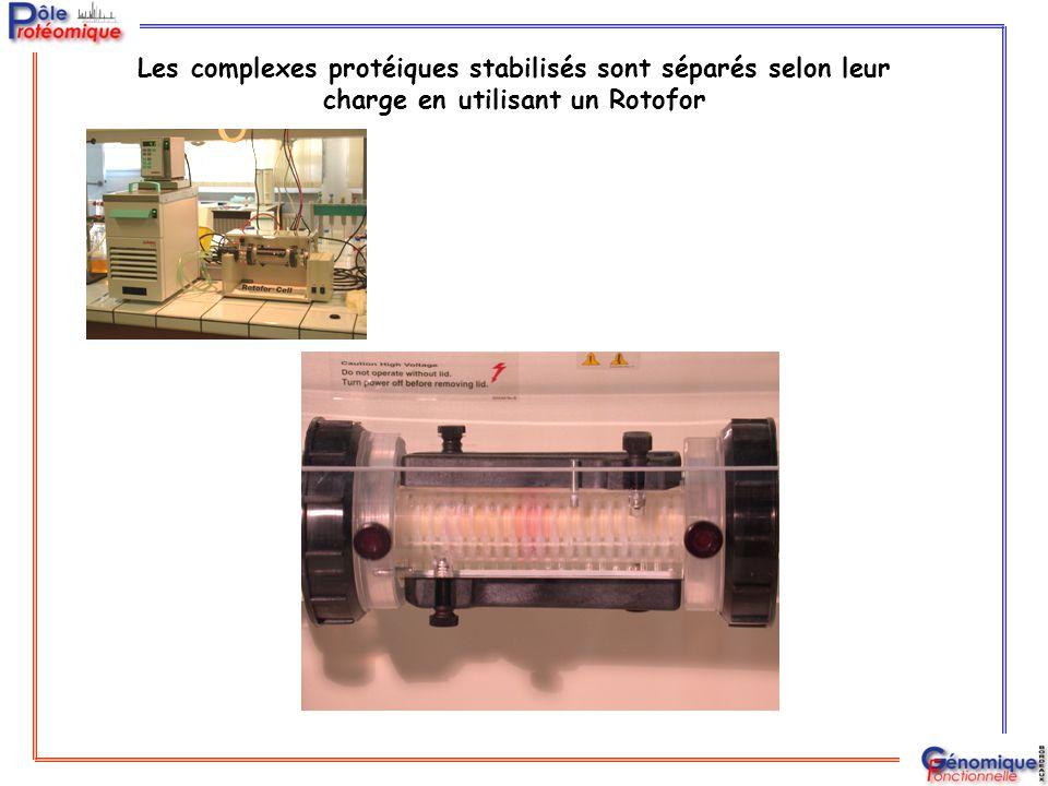 Les complexes protéiques stabilisés sont séparés selon leur charge en utilisant un Rotofor