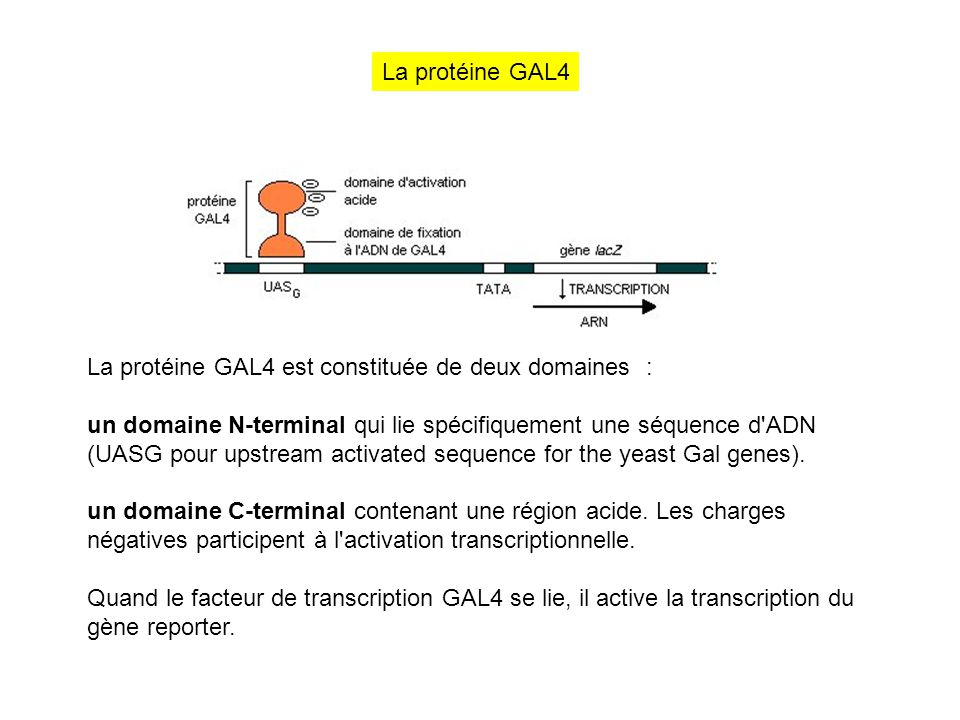 La protéine GAL4 La protéine GAL4 est constituée de deux domaines :