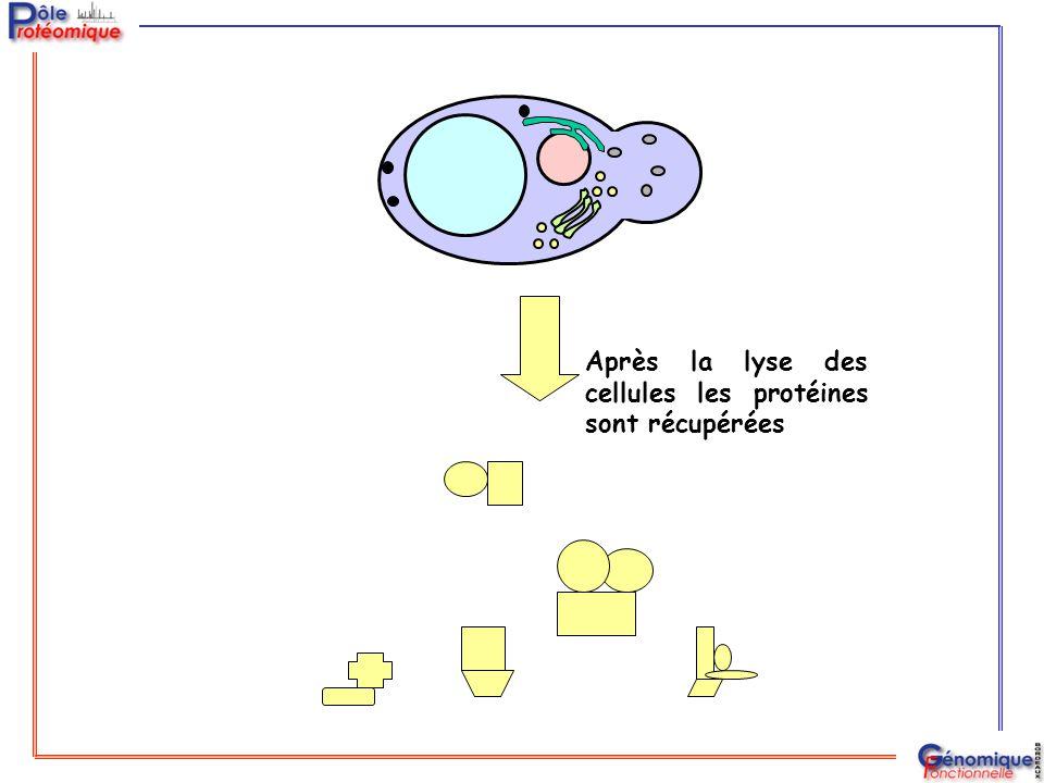 Après la lyse des cellules les protéines sont récupérées