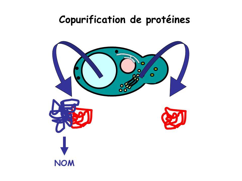 Copurification de protéines