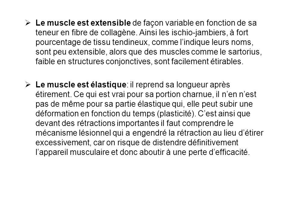 Le muscle est extensible de façon variable en fonction de sa teneur en fibre de collagène. Ainsi les ischio-jambiers, à fort pourcentage de tissu tendineux, comme l'indique leurs noms, sont peu extensible, alors que des muscles comme le sartorius, faible en structures conjonctives, sont facilement étirables.