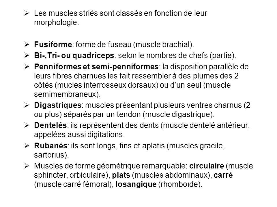 Les muscles striés sont classés en fonction de leur morphologie: