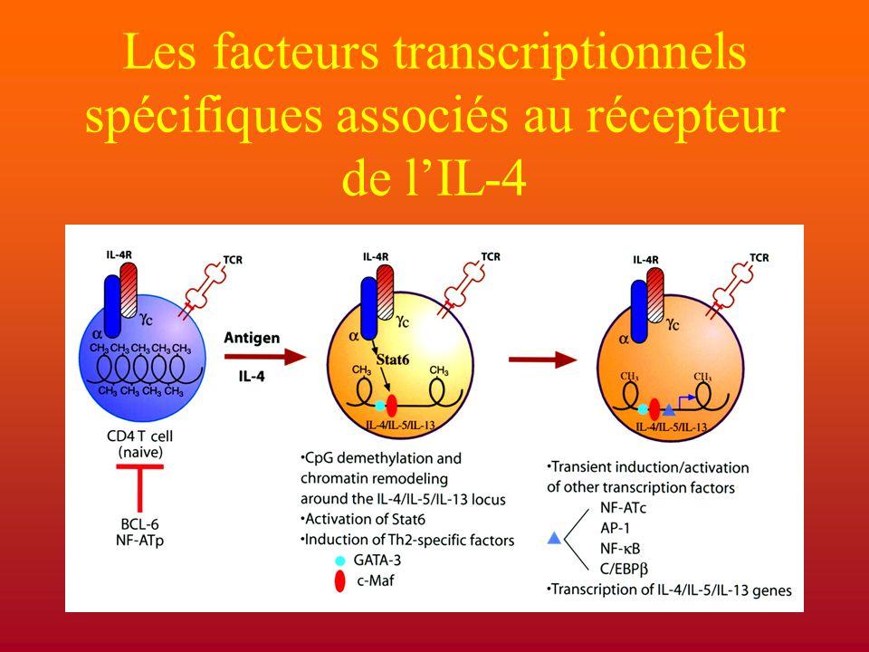 Les facteurs transcriptionnels spécifiques associés au récepteur de l'IL-4