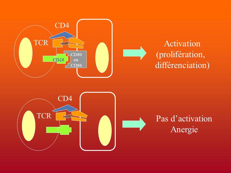 Activation (prolifération, différenciation) Pas d'activation Anergie