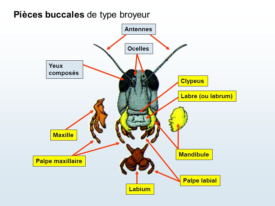 Pièces buccales de type broyeur