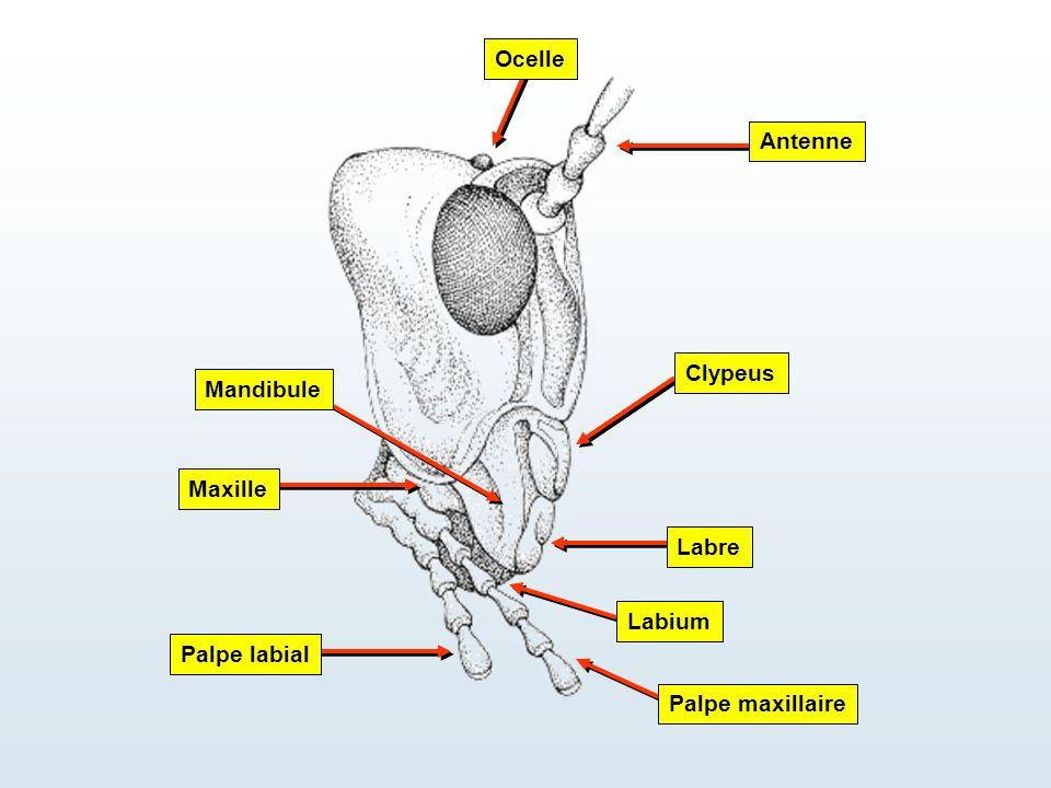 Ocelle Antenne Clypeus Mandibule Maxille Labre Labium Palpe labial Palpe maxillaire