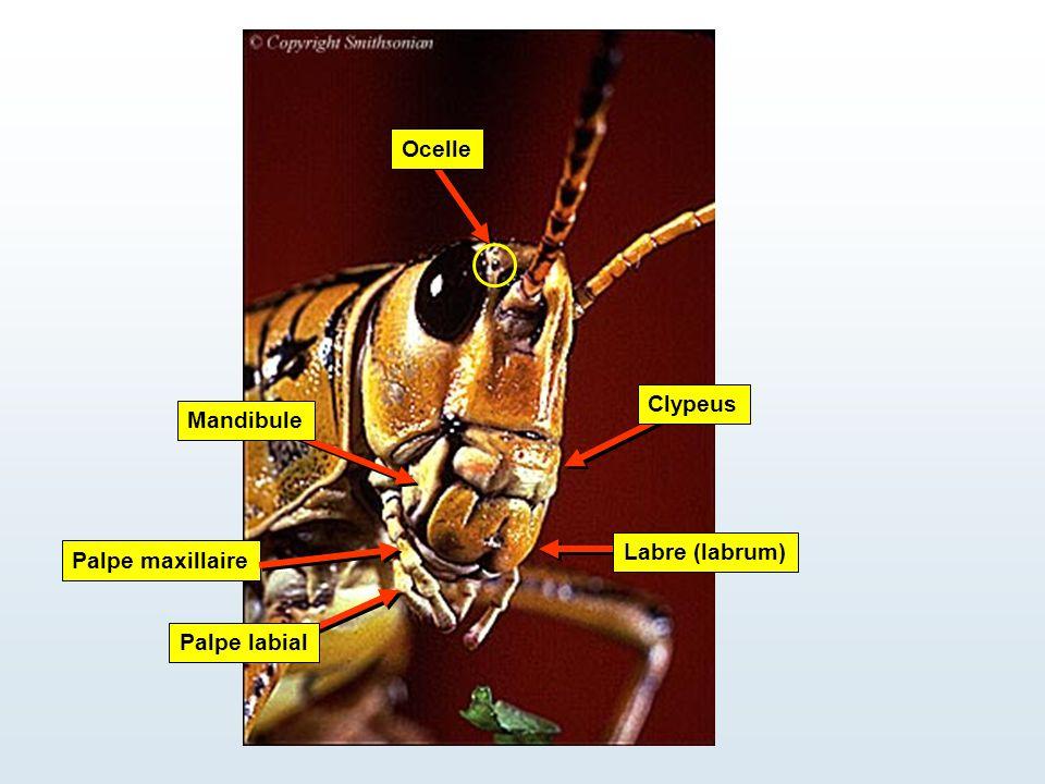 Ocelle Clypeus Mandibule Labre (labrum) Palpe maxillaire Palpe labial