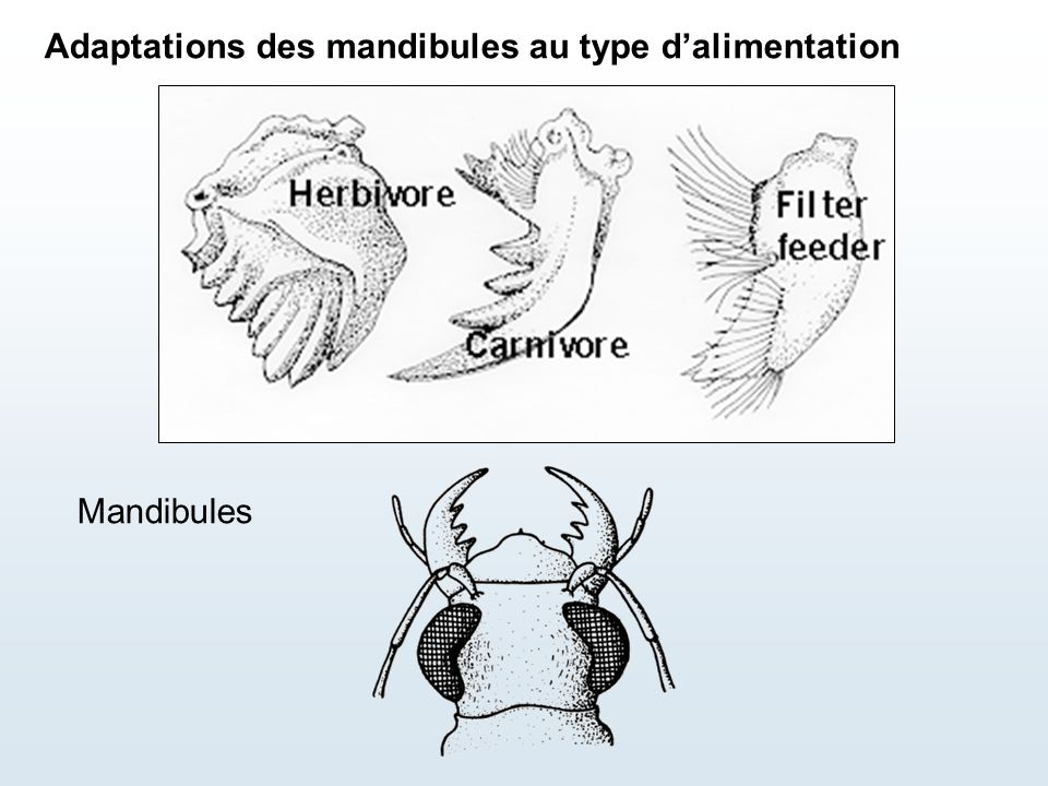 Adaptations des mandibules au type d'alimentation