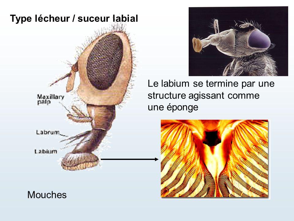 Type lécheur / suceur labial