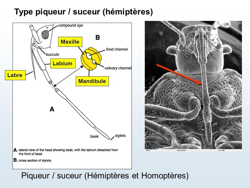 Type piqueur / suceur (hémiptères)