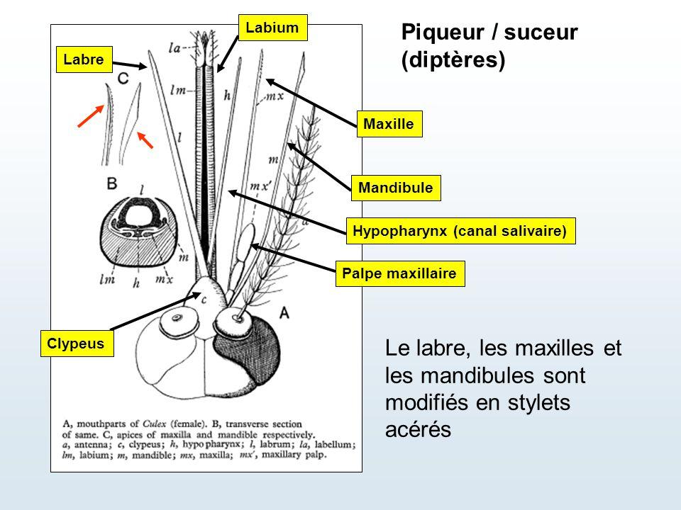 Piqueur / suceur (diptères)