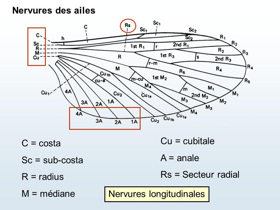 Nervures longitudinales
