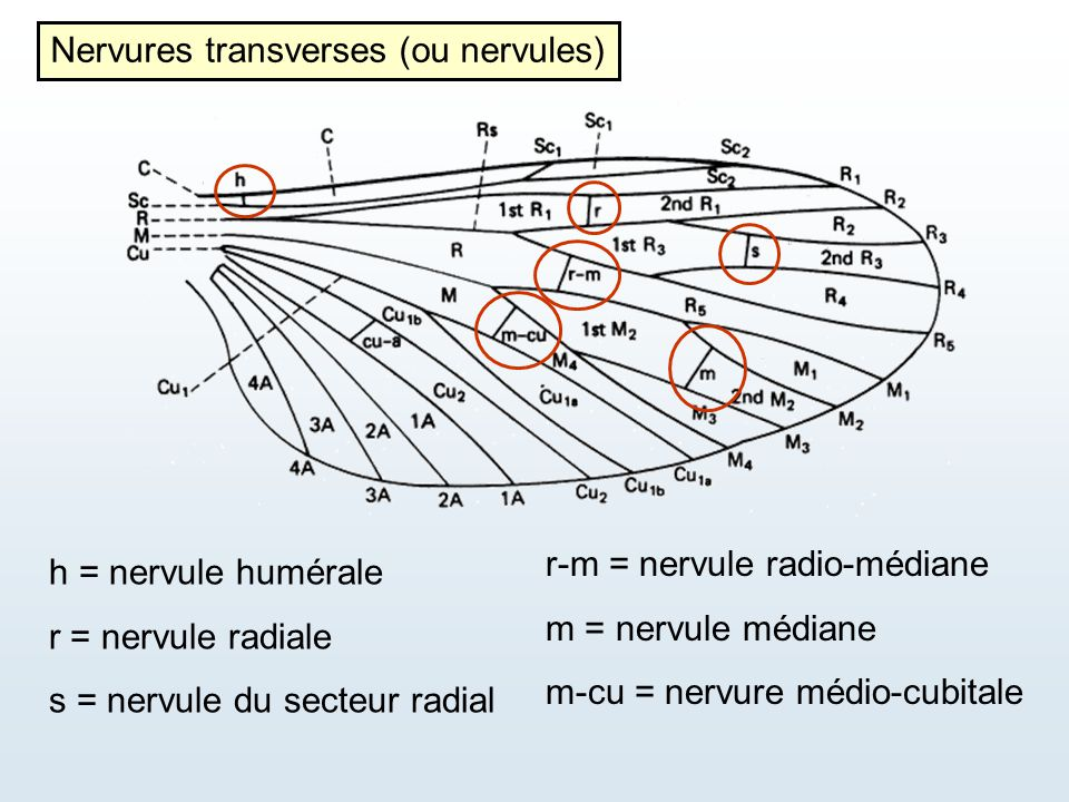 Nervures transverses (ou nervules)