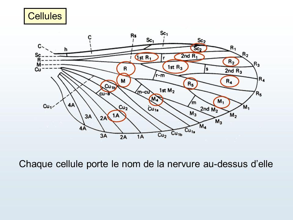 Chaque cellule porte le nom de la nervure au-dessus d'elle