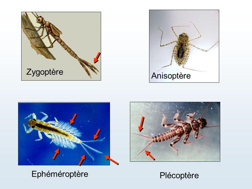 Zygoptère Anisoptère Ephéméroptère Plécoptère