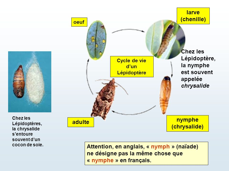 Cycle de vie d'un Lépidoptère