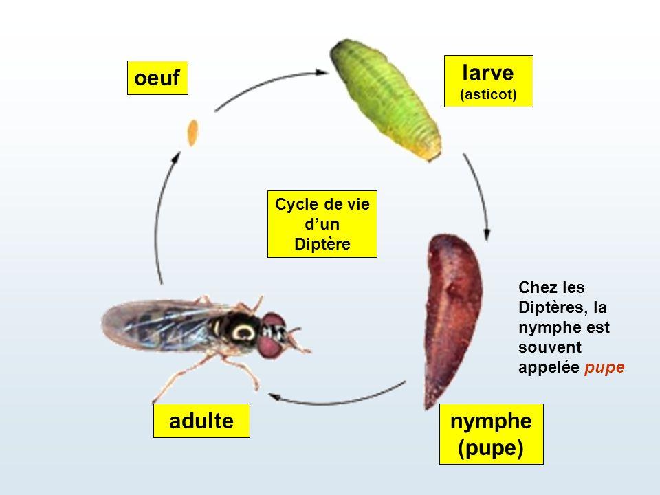 Cycle de vie d'un Diptère