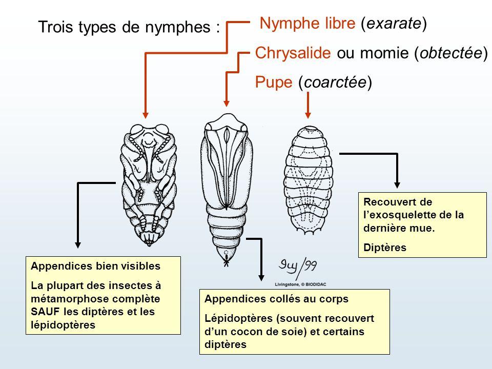 Nymphe libre (exarate) Chrysalide ou momie (obtectée) Pupe (coarctée)