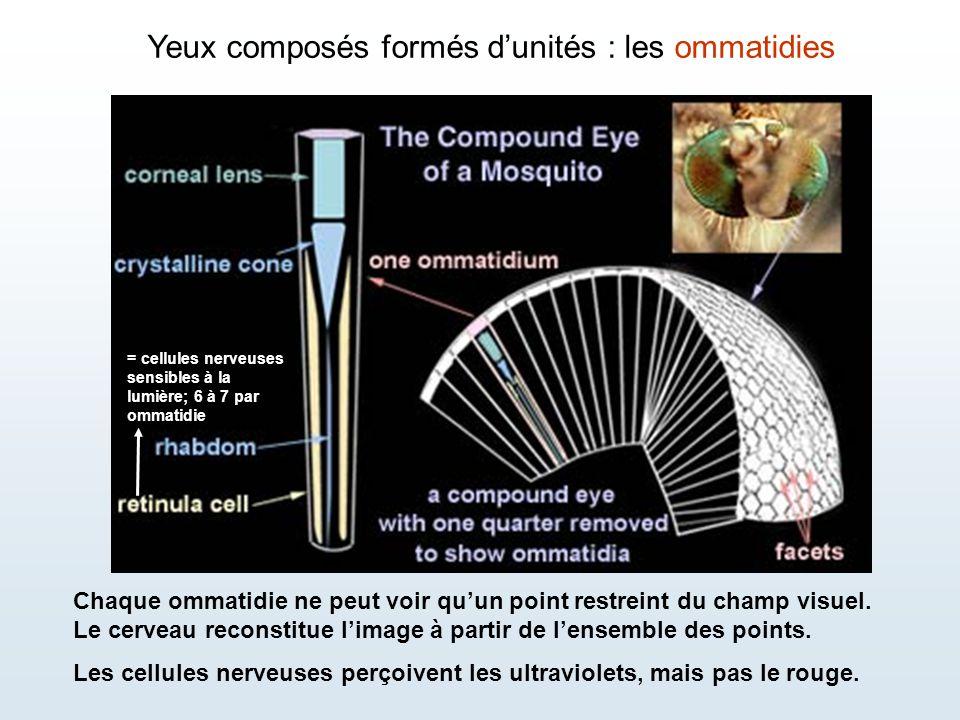 Yeux composés formés d'unités : les ommatidies