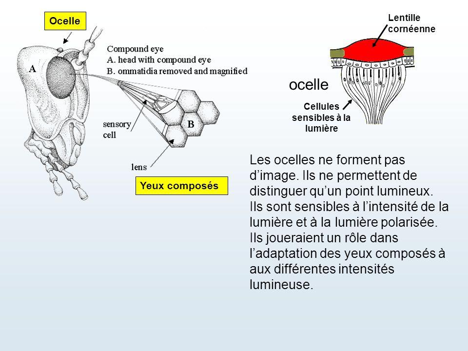 Cellules sensibles à la lumière