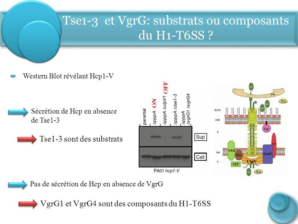 Tse1-3 et VgrG: substrats ou composants du H1-T6SS