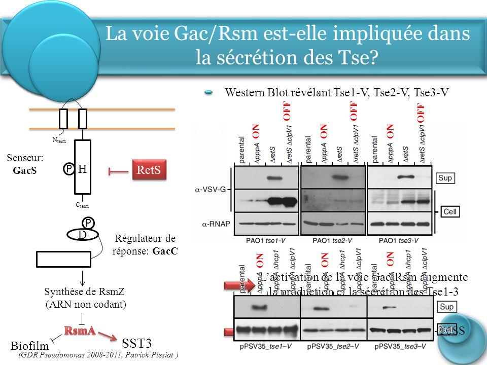 La voie Gac/Rsm est-elle impliquée dans la sécrétion des Tse