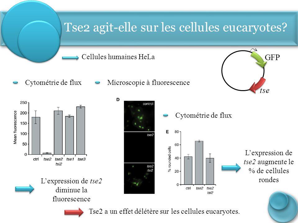 Tse2 agit-elle sur les cellules eucaryotes
