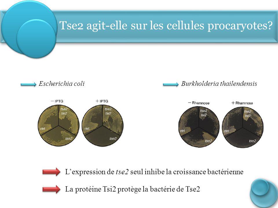 Tse2 agit-elle sur les cellules procaryotes