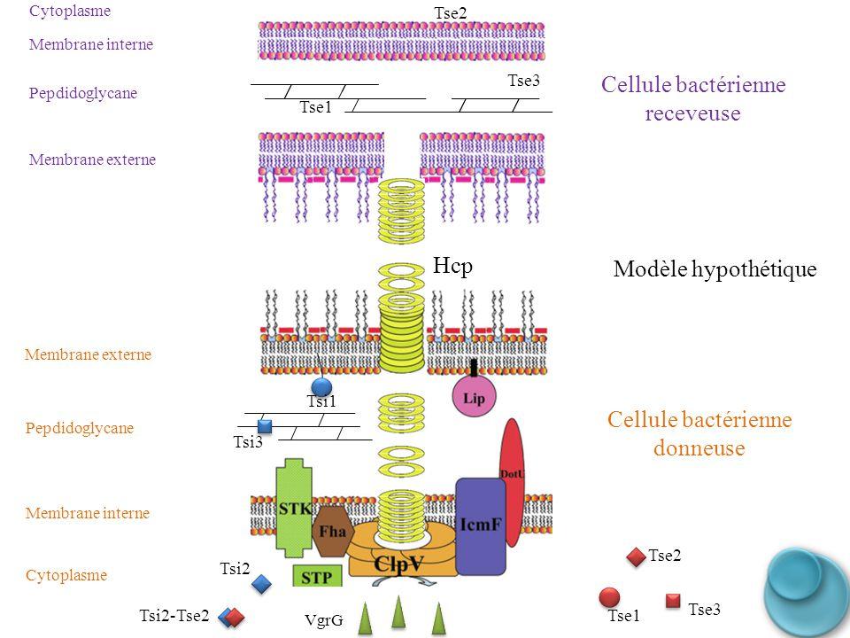 Cellule bactérienne receveuse Hcp Modèle hypothétique