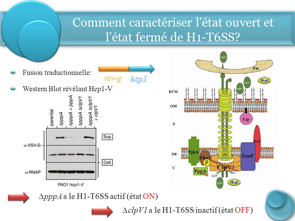 Comment caractériser l'état ouvert et l'état fermé de H1-T6SS