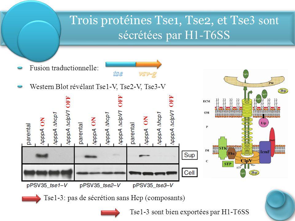 Trois protéines Tse1, Tse2, et Tse3 sont sécrétées par H1-T6SS