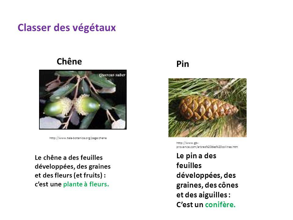 Classer des végétaux Chêne Pin