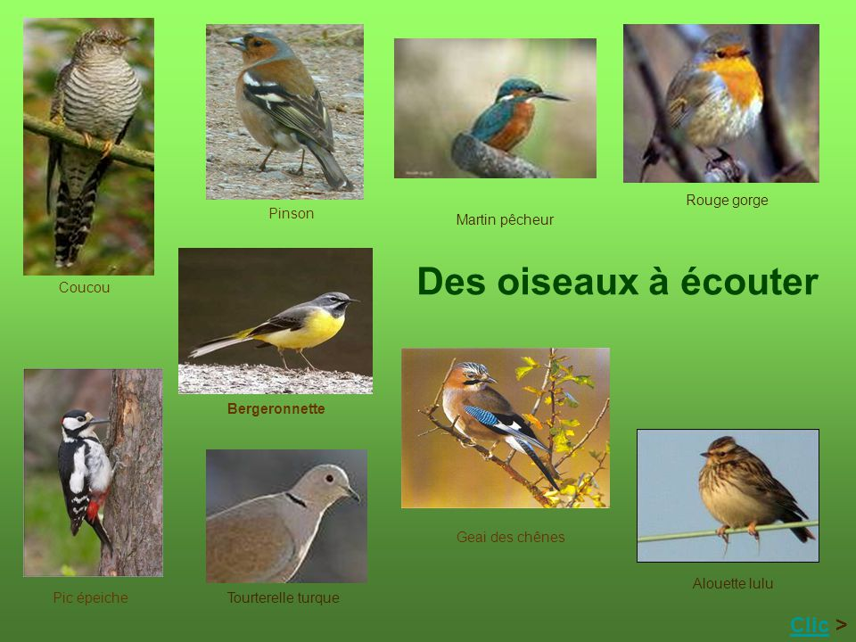 Des oiseaux à écouter Clic > Rouge gorge Pinson Martin pêcheur