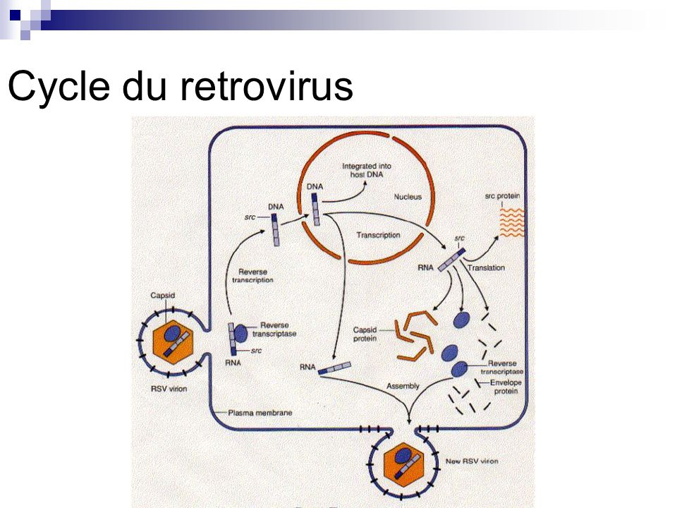 Cycle du retrovirus