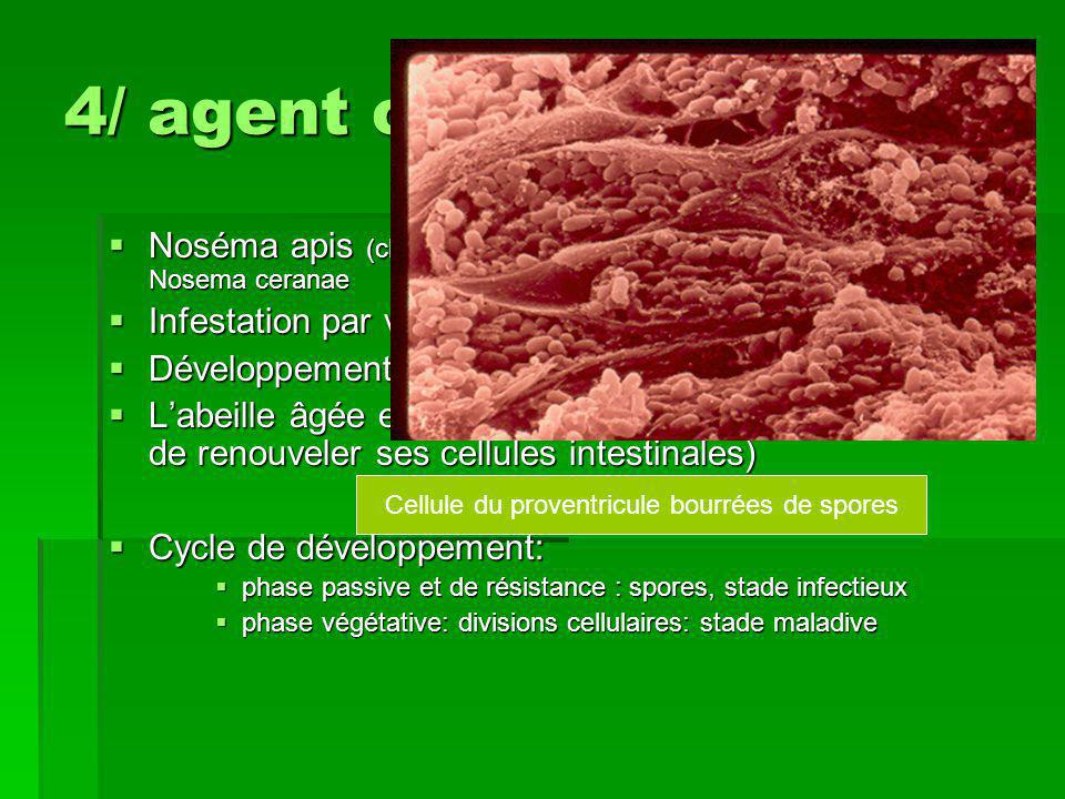 Cellule du proventricule bourrées de spores