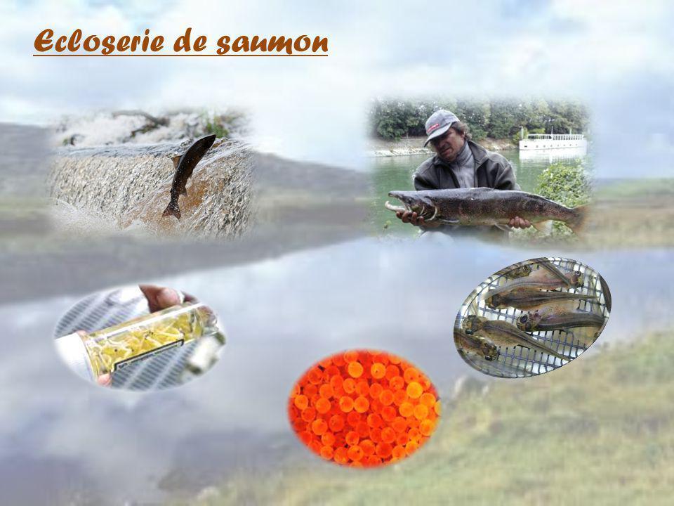 Ecloserie de saumon