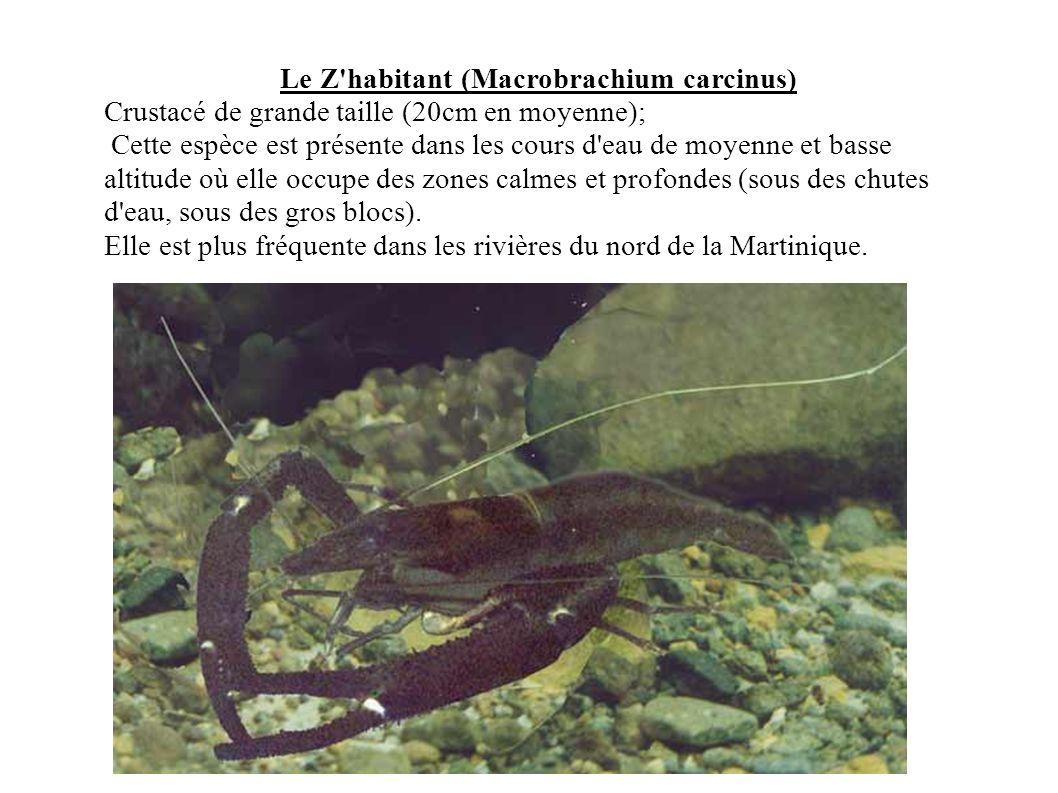 Le Z habitant (Macrobrachium carcinus)
