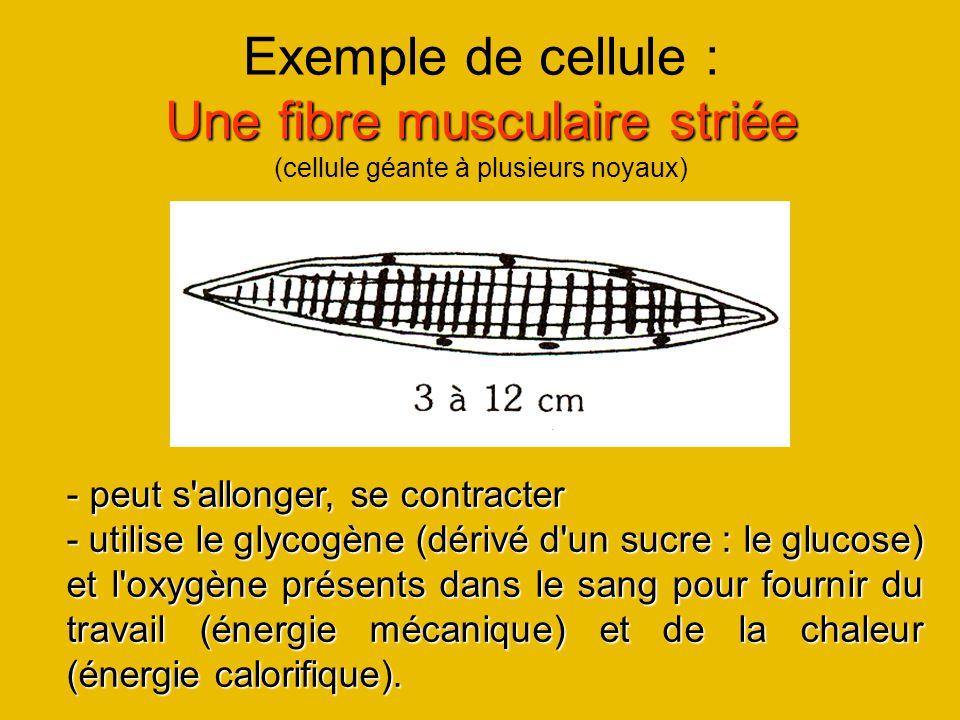 Exemple de cellule : Une fibre musculaire striée (cellule géante à plusieurs noyaux)