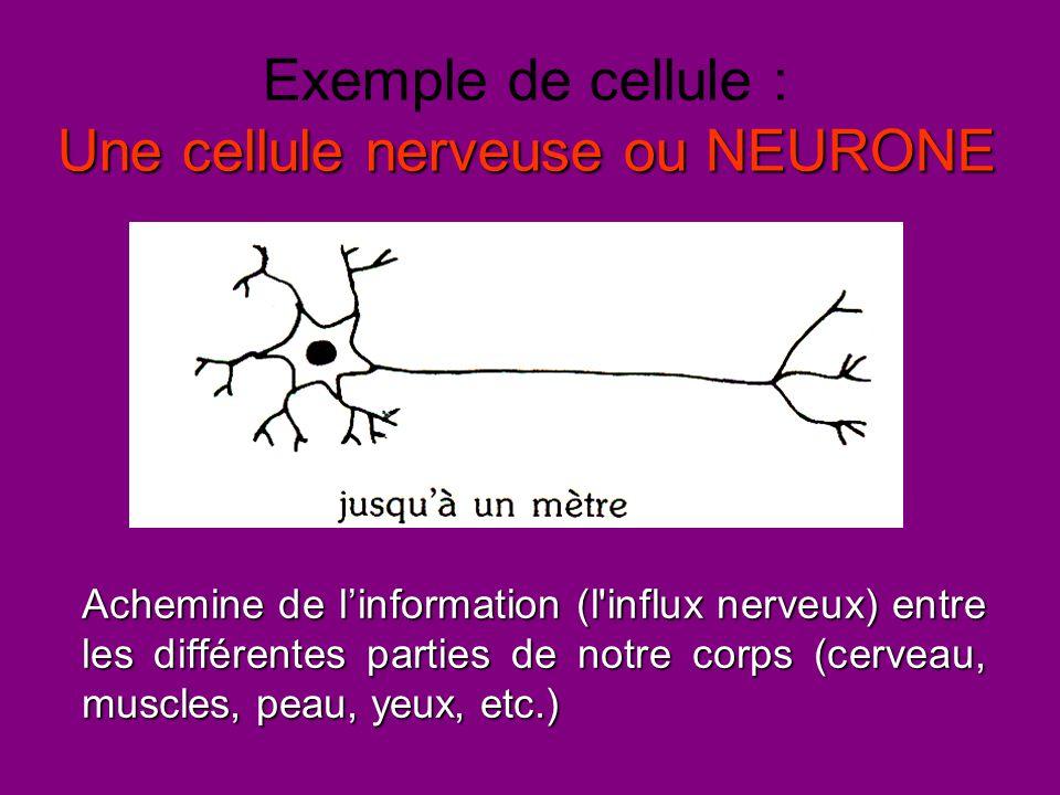 Exemple de cellule : Une cellule nerveuse ou NEURONE