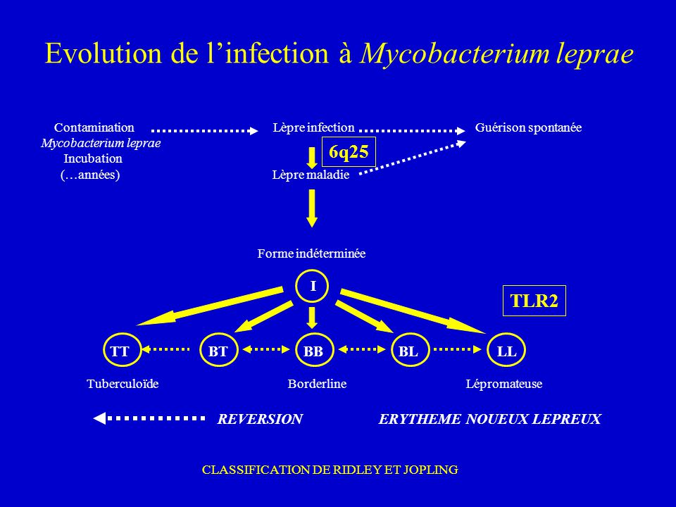 Evolution de l'infection à Mycobacterium leprae