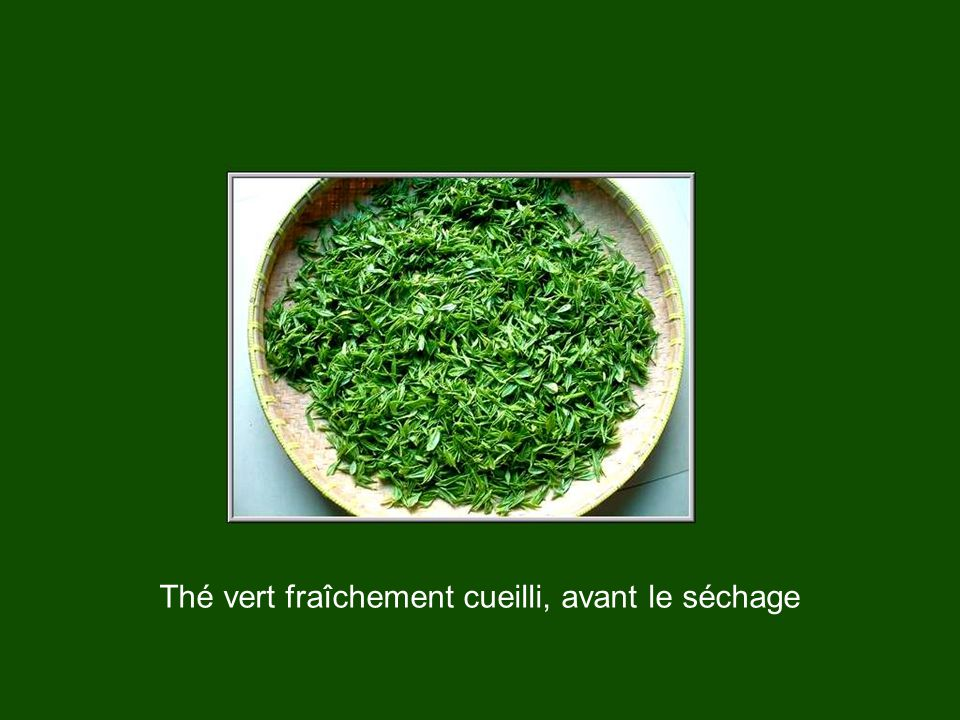 Thé vert fraîchement cueilli, avant le séchage