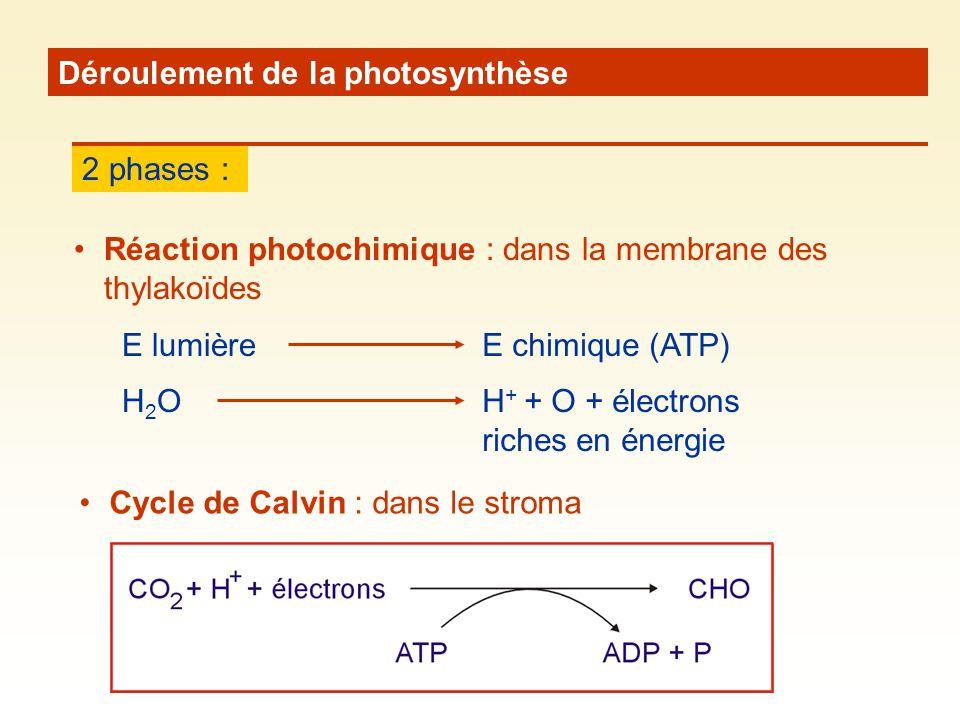 Déroulement de la photosynthèse