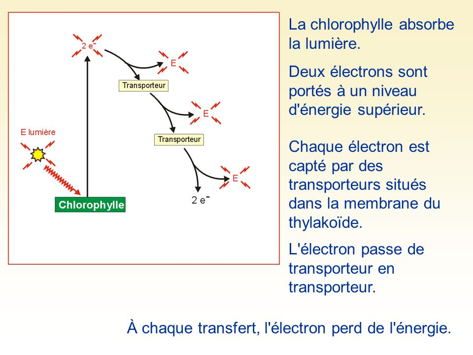 La chlorophylle absorbe la lumière.