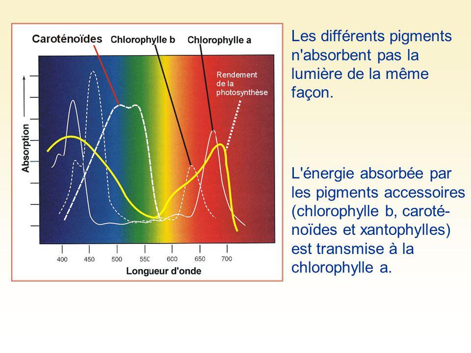 Les différents pigments n absorbent pas la lumière de la même façon.
