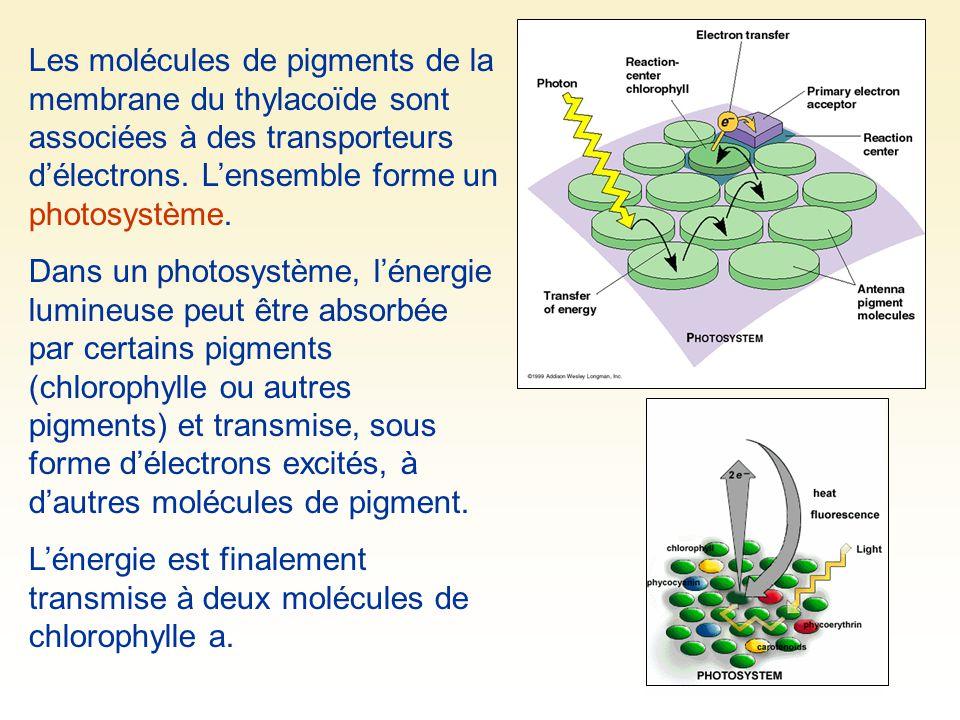 Les molécules de pigments de la membrane du thylacoïde sont associées à des transporteurs d'électrons. L'ensemble forme un photosystème.
