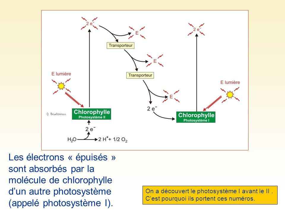 Les électrons « épuisés » sont absorbés par la molécule de chlorophylle d'un autre photosystème (appelé photosystème I).