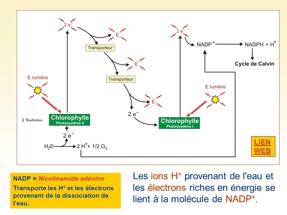 LIEN WEB Les ions H+ provenant de l eau et les électrons riches en énergie se lient à la molécule de NADP+.