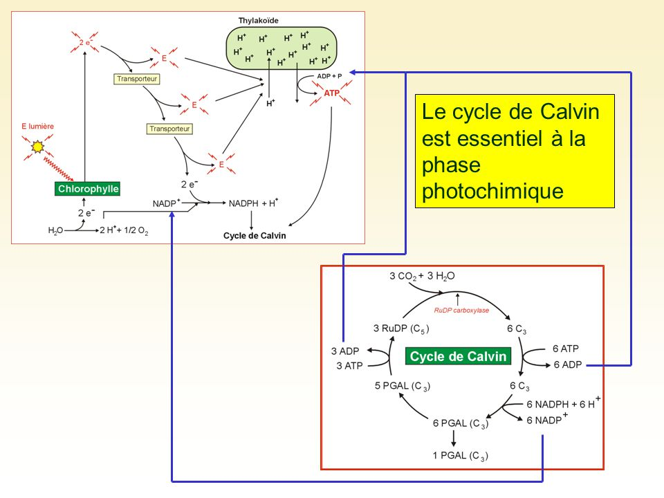 Le cycle de Calvin est essentiel à la phase photochimique