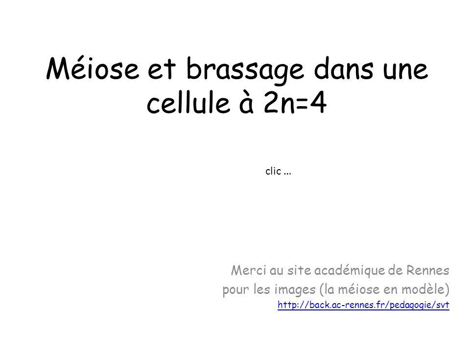 Méiose et brassage dans une cellule à 2n=4