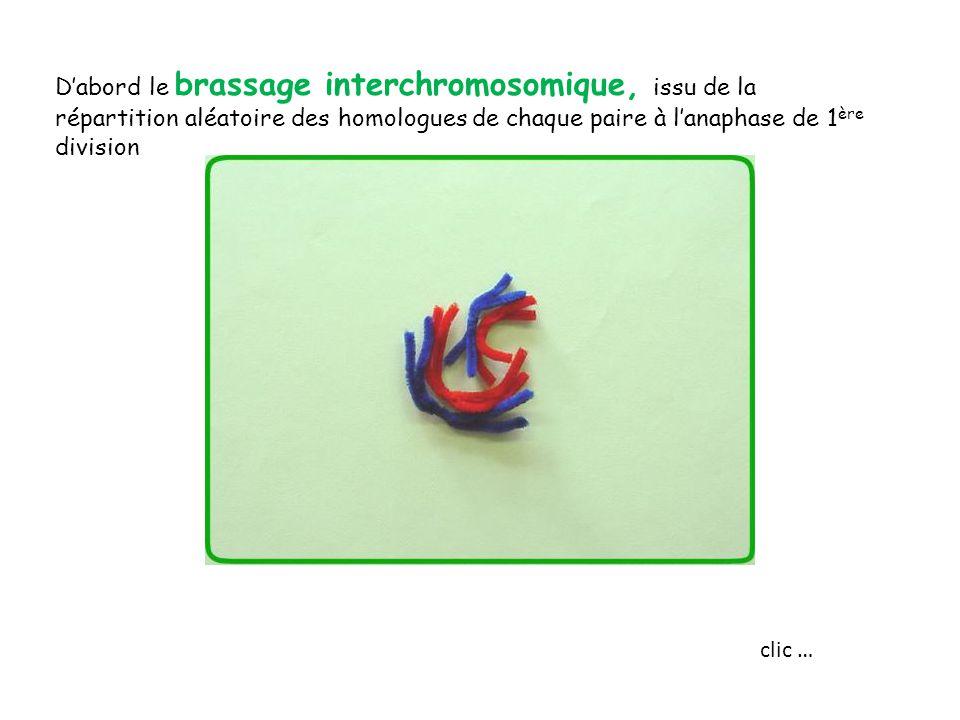 D'abord le brassage interchromosomique, issu de la répartition aléatoire des homologues de chaque paire à l'anaphase de 1ère division
